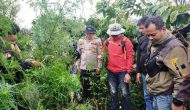 Permalink ke Polres Lahat Ungkap Ladang Ganja Siap Panen Seluas 1,5 Hektar